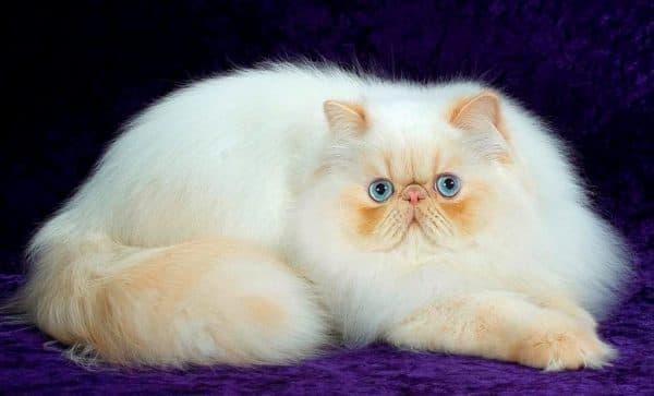 Персидская кошка читайте статью