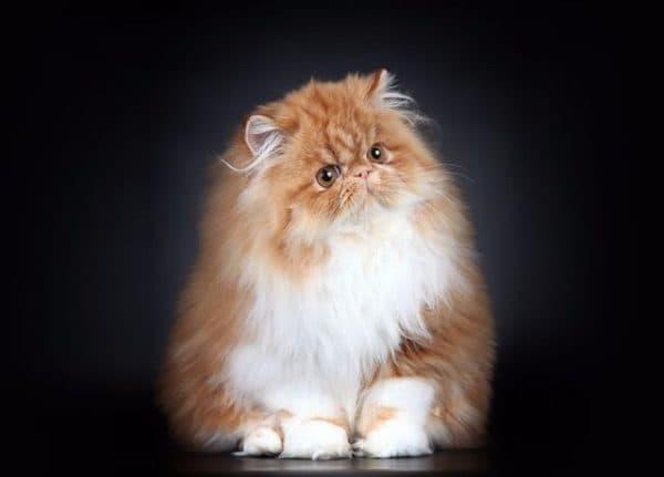 Персидская кошка камео
