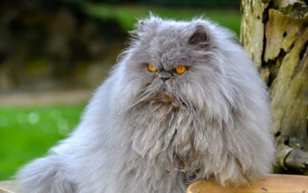Персидская кошка красивая порода