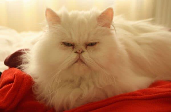 Персидская кошка красивое фото