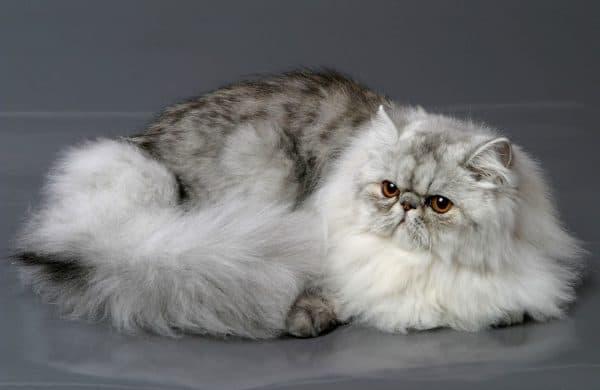 Персидская кошка прекрасная порода