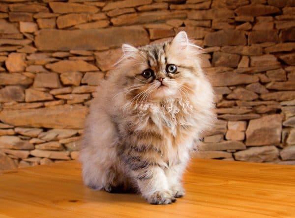Персидская кошка сидит