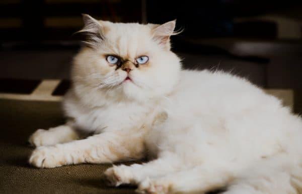 Персидская кошка смотрит