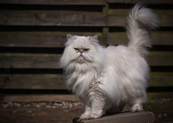 Персидская кошка удивительная порода