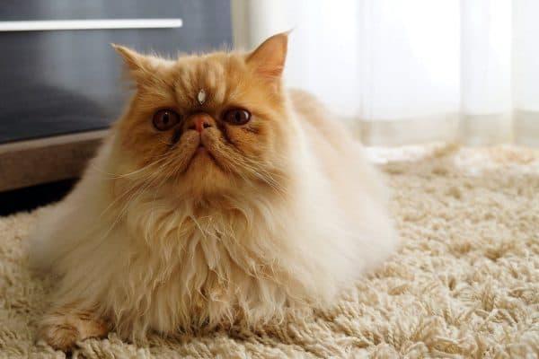 Персидская кошка. Описание породы, фото, видео, характер и цены.