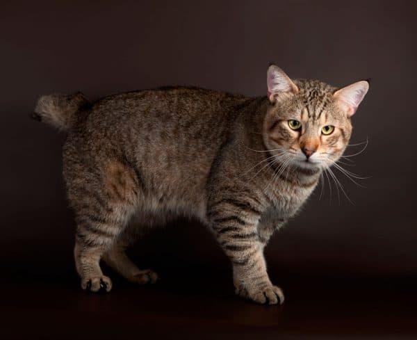 Пиксибоб красивая порода кошки