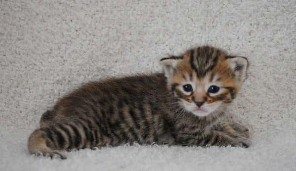 Пиксибоб удивительная порода кошки