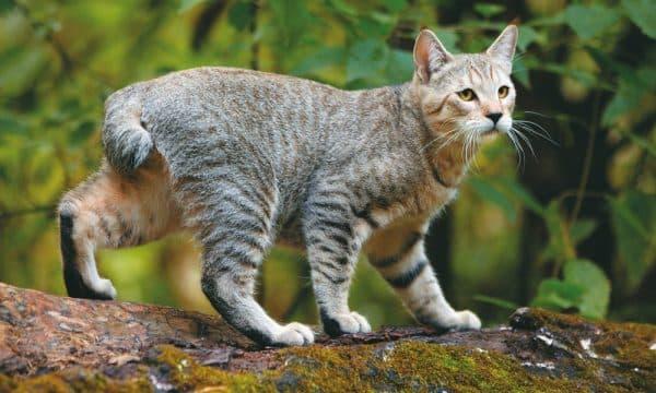 Пиксибоб. Видео, фото кошки, характер, описание породы и цены.