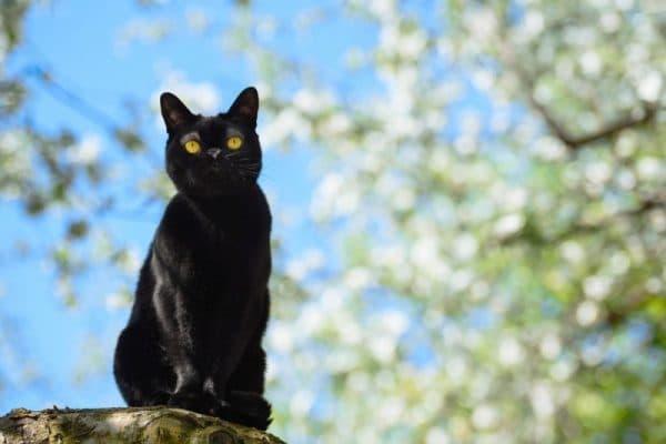 Порода кошки бомбейская кошка