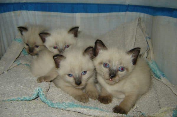Прекрасный сиамский котенок