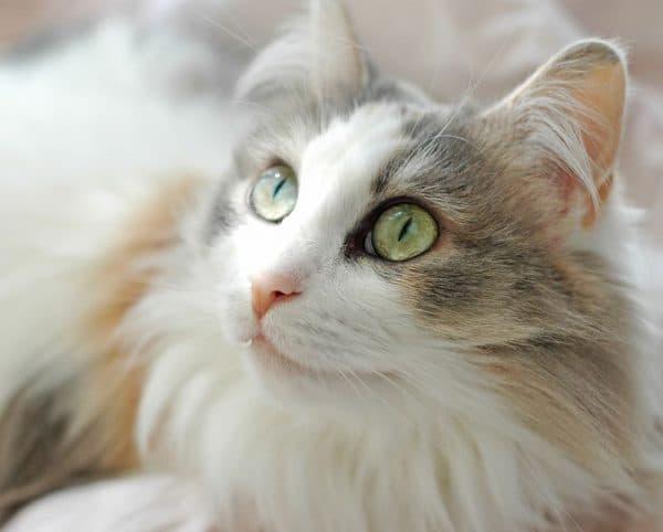 Рагамаффин прекрасная порода кошек