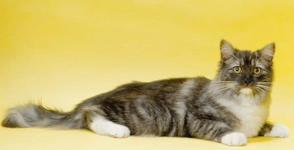 Рагамаффин. Видео, фото кошки, характер, описание породы и цены.