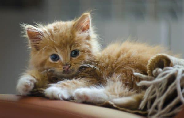 Рыженький котик девочка