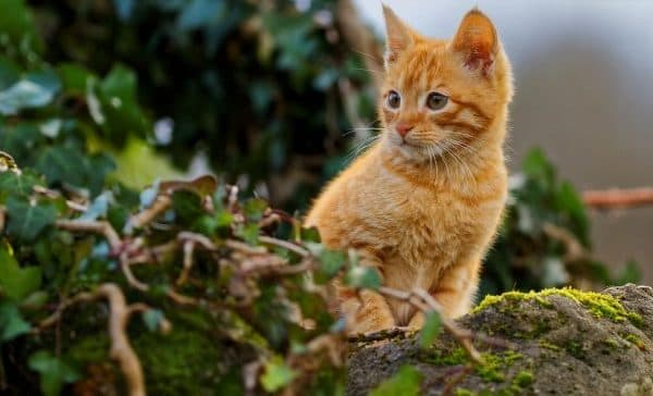 Рыжий милый котенок