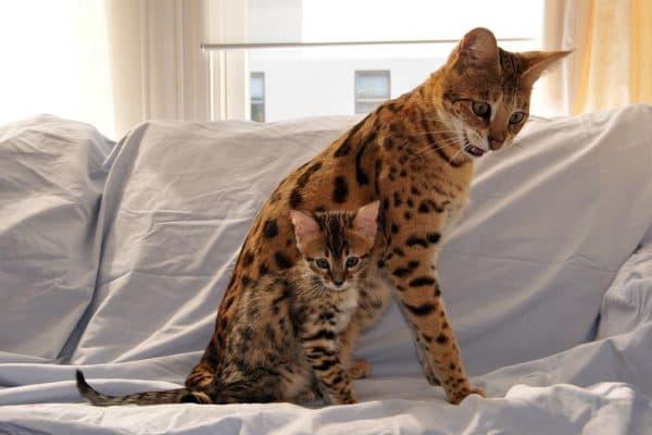 Саванна кошка болезни