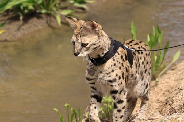 Саванна кошка фото