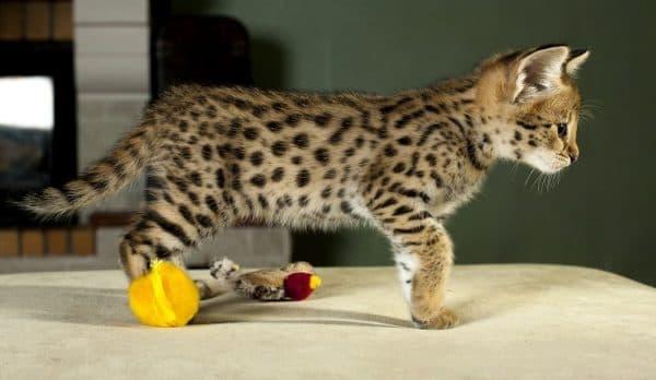 Саванна кошка красивая порода