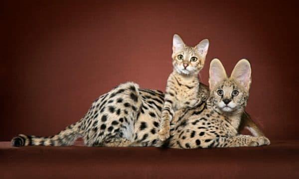 Саванна кошка прекрасная порода