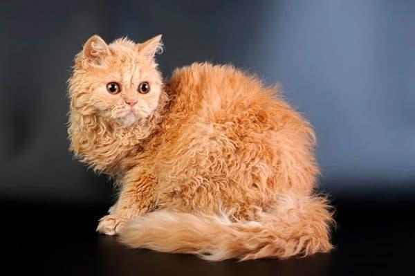 Селкирк рекс прекрасная порода кошек