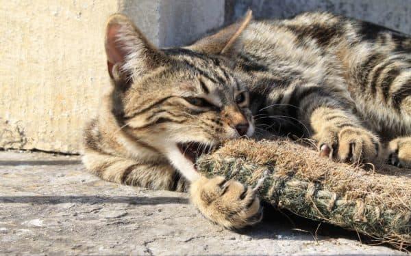 Серенгети кошка болезни