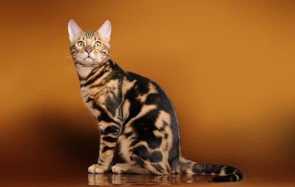 Серенгети кошка черная