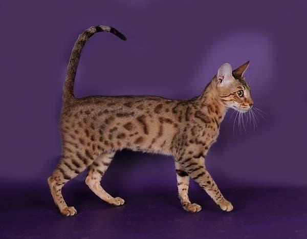 Серенгети кошка коричневато-серый с темно-коричневыми пятнами