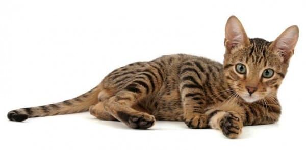 Серенгети кошка красивая порода