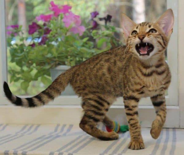 Серенгети кошка прекрасная порода