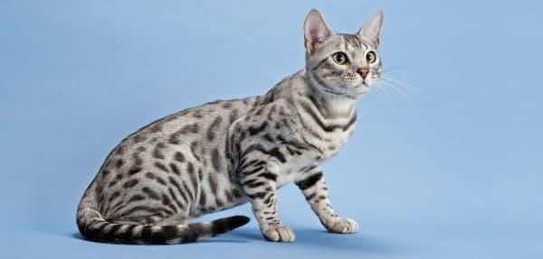 Серенгети кошка содержание