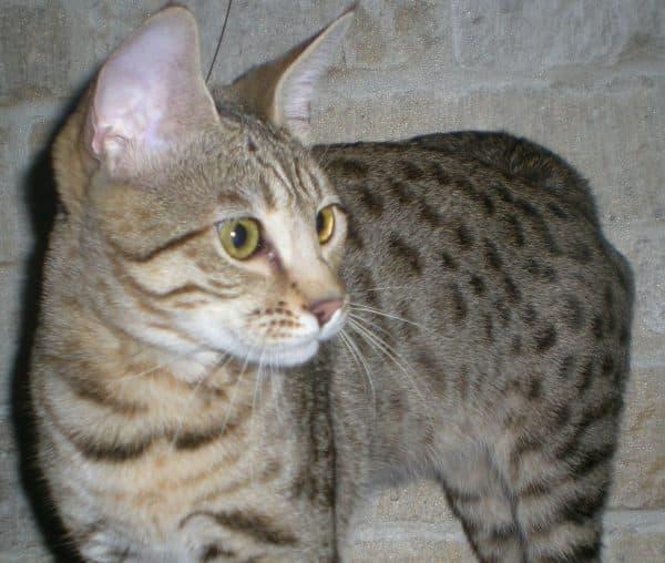 Серенгети кошка удивительная порода