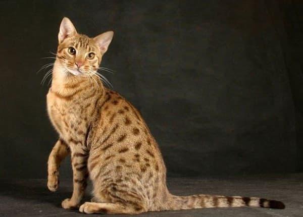 Серенгети кошка. Описание породы, фото, видео, характер и цены.