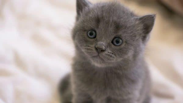 Серый котеночек