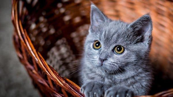 Серый прекрасный котенок