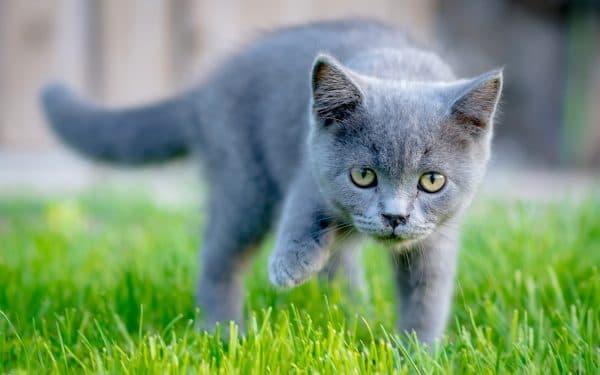 Серый удивительный котенок