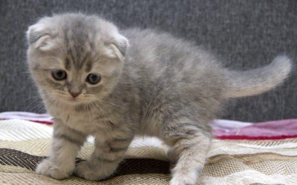 Шотландский котеночек