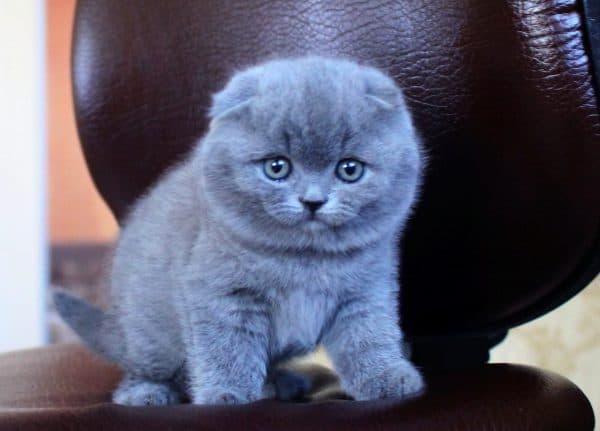 Шотландский котенок красивый