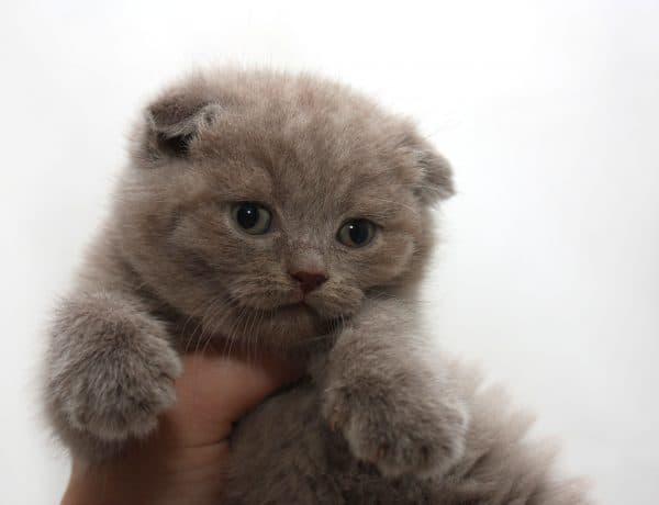 Шотландский котенок прекрасный