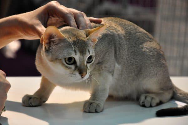 Сингапурская кошка красивое фото