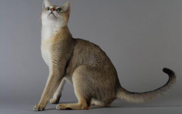 Сингапурская кошка описание