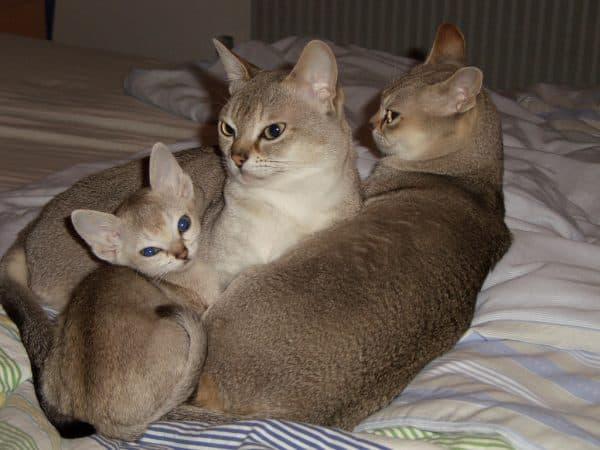Сингапурская кошка продолжительность жизни