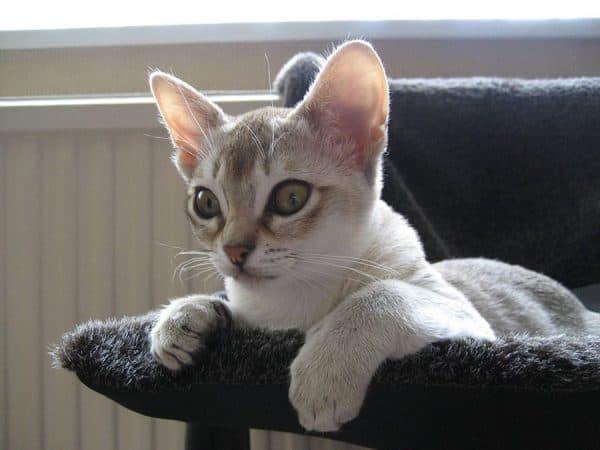 Сингапурская кошка смотрит