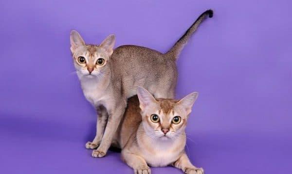 Сингапурская кошка удивительная порода