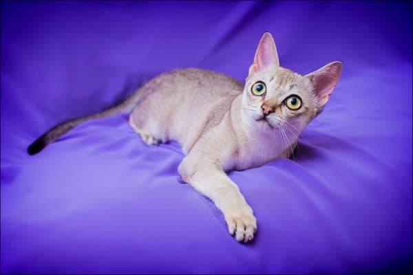 Сингапурская кошка. Описание породы, фото, видео, характер и цены.