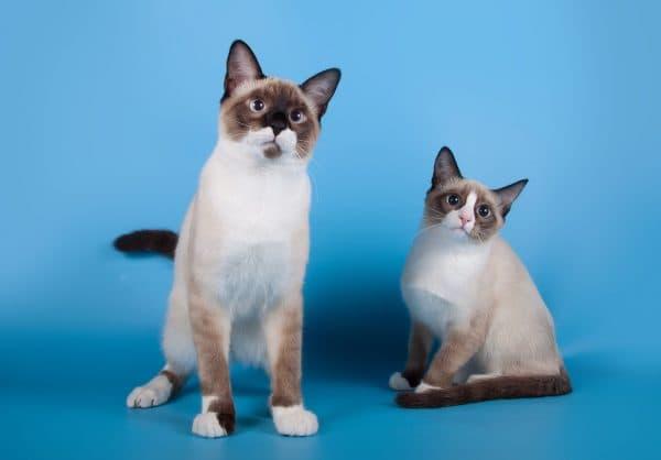Сноу-шу красивая порода кошек