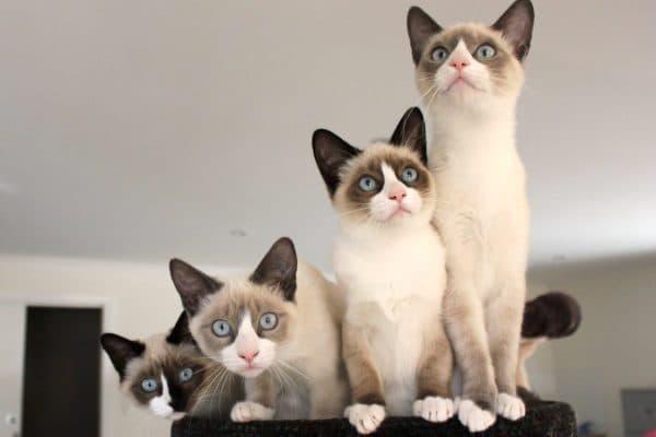 Сноу-шу. Описание породы, фото кошки, видео, характер и цены.