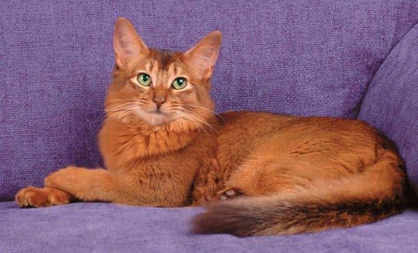 Сомалийская кошка дикая окраска