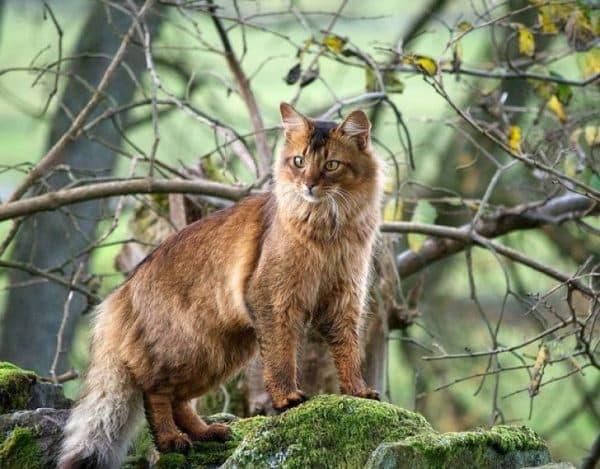 Сомалийская кошка милая порода