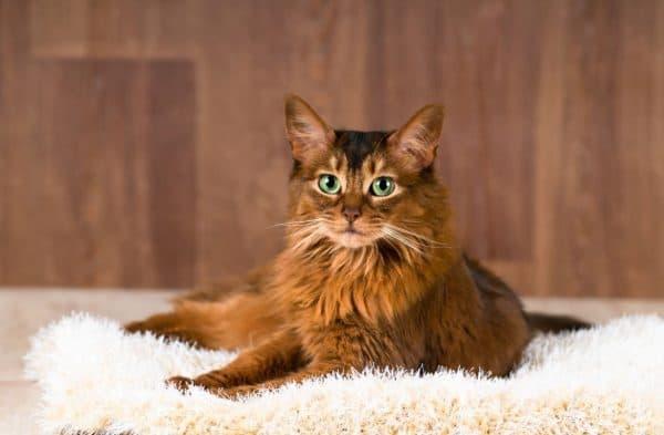 Сомалийская кошка содержание