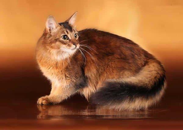 Сомалийская порода кошек