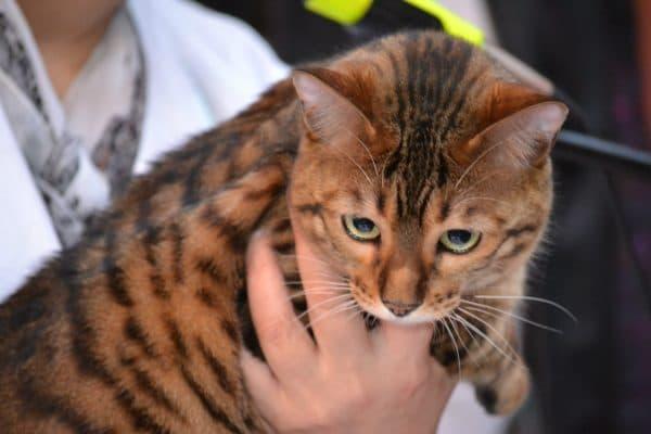 Тойгер. Описание породы, фото кошки, видео, характер и цены.